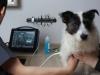 Examen échographique du chien des chiens du chat des chats