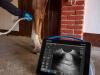 Aparat usg dramiński ultrasonograf przenośny cena dla koni konia klaczy zapalenie ścięgna końskie