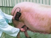 Łatwy w użyciu wykrywacz ciąży świń